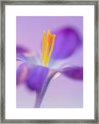 Crocus Stand Proud  Framed Print