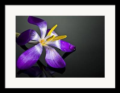 Crocus Framed Prints