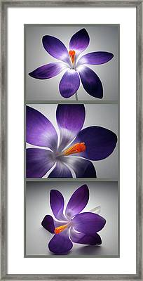 Crocus Triptych. Framed Print by Terence Davis