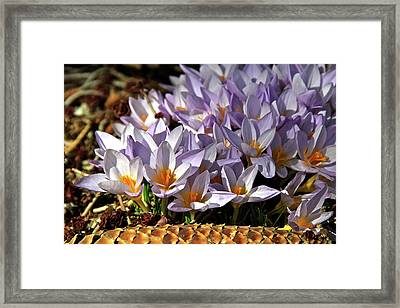 Crocuses Serenade Framed Print