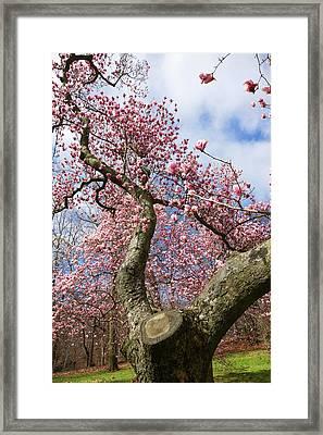 Crooked Magnolia Framed Print