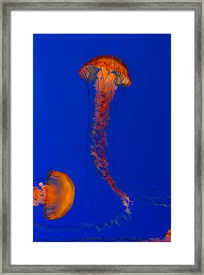 Crossing Pacific Sea Nettles 2 Framed Print by Scott Campbell