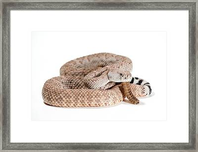 Crotalus Atrox Framed Print by Thor Hakonsen
