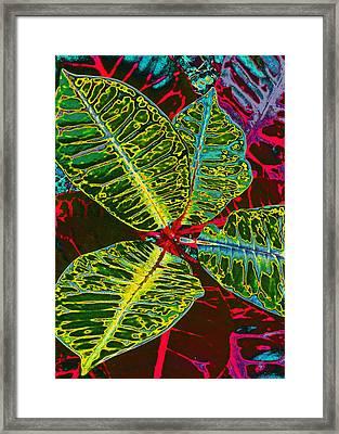 Croton Framed Print by Kerri Ligatich