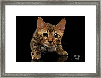 Crouching Bengal Kitty On Black  Framed Print by Sergey Taran