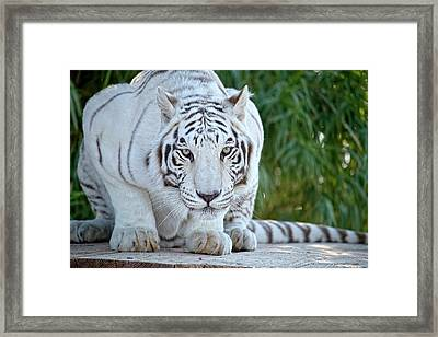 Crouching White Tiger Framed Print by Lucinda Walter
