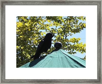 Framed Print featuring the photograph Crow On An Umbrella With Food by AJ Brown