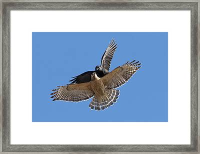 Framed Print featuring the photograph Crow Vs Hawk by Mircea Costina Photography