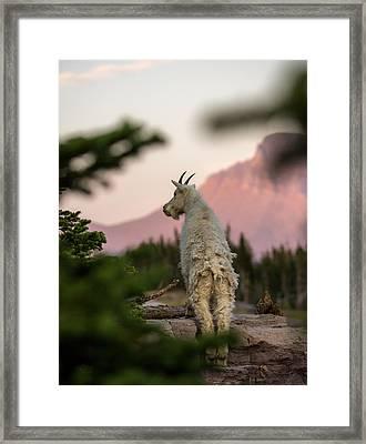 Mountain Goat // Hidden Lake, Glacier National Park  Framed Print