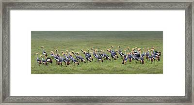 Crowned Crane Balearica Regulorum Framed Print by Panoramic Images