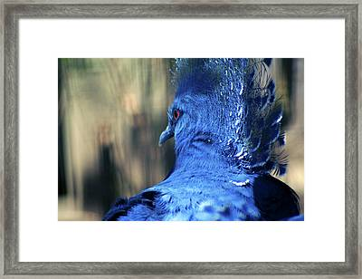 Crowned Pigeon Framed Print