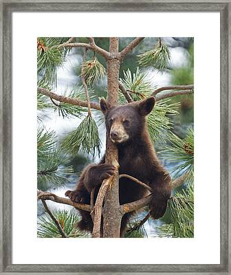 Cub In Tree Dry Brushed Framed Print