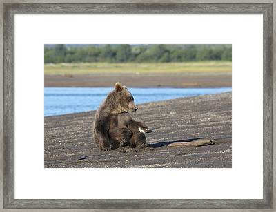 Cub With Porcupine Quils In Paw Framed Print by David Wilkinson