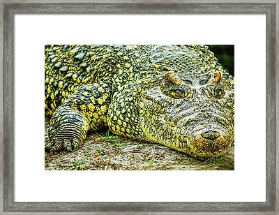 Cuban Croc Framed Print