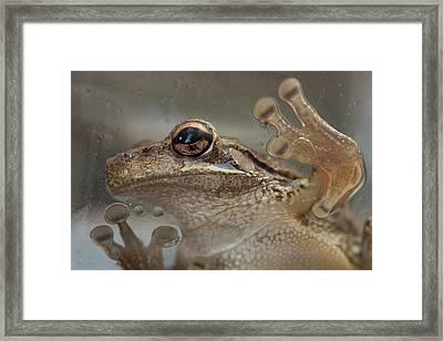 Cuban Treefrog Framed Print
