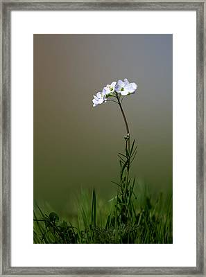 Cuckoo Flower Framed Print by Ian Hufton