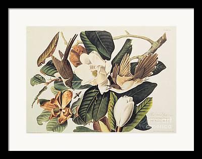 Audubon Drawings Framed Prints