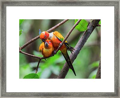 Framed Print featuring the photograph Cuddling Parrots by Pradeep Raja Prints