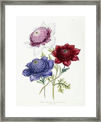 Cultivated Double Varieties Of Anemone Coronarial Framed Print