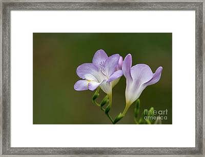 Cupertino Lavender Freesias Framed Print