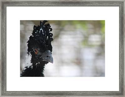 Brazil's Curassow Framed Print