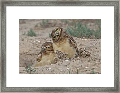 Curios Owl Framed Print by Rob Palmer