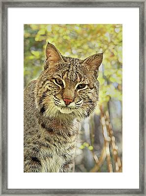 Framed Print featuring the photograph Curiosity The Bobcat by Jessica Brawley