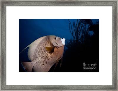Curious Angelfish Framed Print