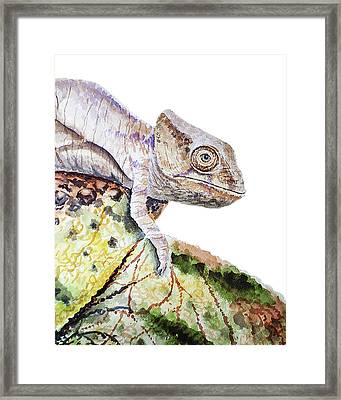 Curious Baby Chameleon Framed Print