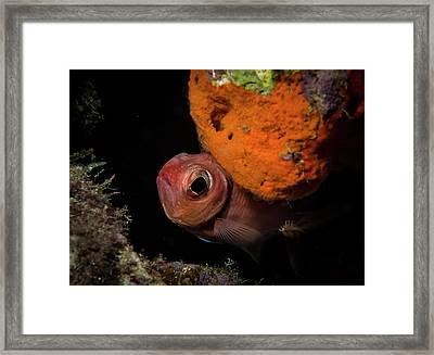 Curious Blackbar Soldierfish Framed Print by Jean Noren