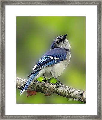 Curious Blue Jay Framed Print