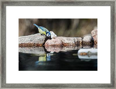 Curious Blue Tit Framed Print by Torbjorn Swenelius