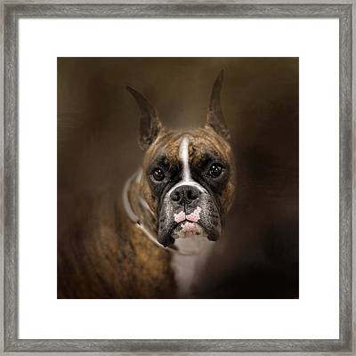 Curious Boxer Framed Print