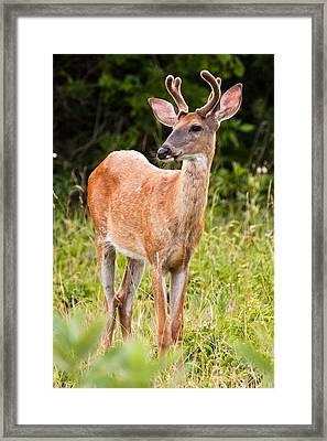 Curious Buck Framed Print