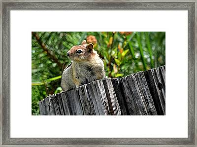 Curious Chipmunk Framed Print by AJ Schibig