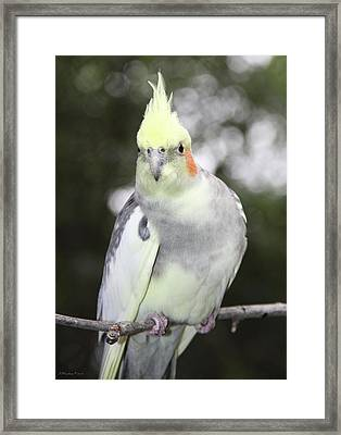 Curious Cockatiel Framed Print by Inspirational Photo Creations Audrey Woods