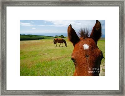 Curious Colt Framed Print by Gaspar Avila
