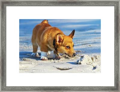 Curious Corgi Framed Print by Stephanie Hayes