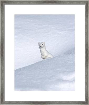 Curious Ermin Framed Print by Sandra Bronstein