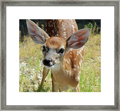 Curious Fawn Framed Print
