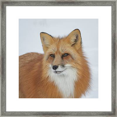 Curious Fox Framed Print by Jack Bell