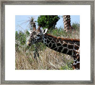 Curious Giraffe Framed Print by Mary Haber