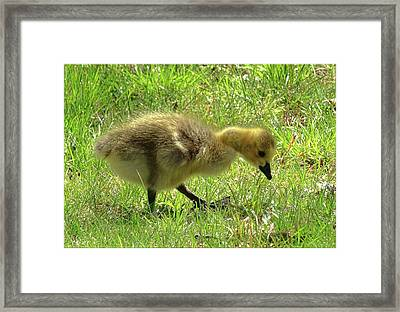 Curious Gosling Framed Print by Mikki Cucuzzo