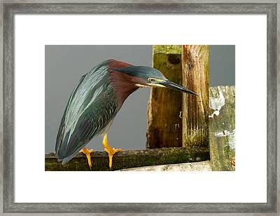 Curious Green Heron Framed Print