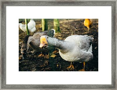 Curious Grey Goose Framed Print by Pati Photography