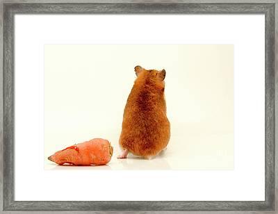 Curious Hamster 1 Framed Print by Yedidya yos mizrachi