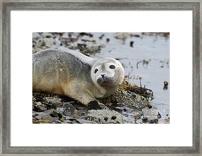 Curious Harbor Seal Pup Framed Print