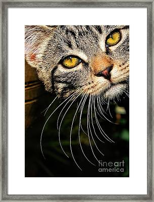 Curious Kitten Framed Print by Meirion Matthias