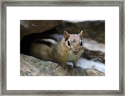 Curious Little Chipmunk Framed Print by Pierre Leclerc Photography