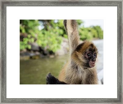 Curious Monkey Framed Print by Michael Santos